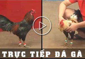 Đá Gà trực tiếp - Link đăng ký chơi đá gà Campuchia miễn phí